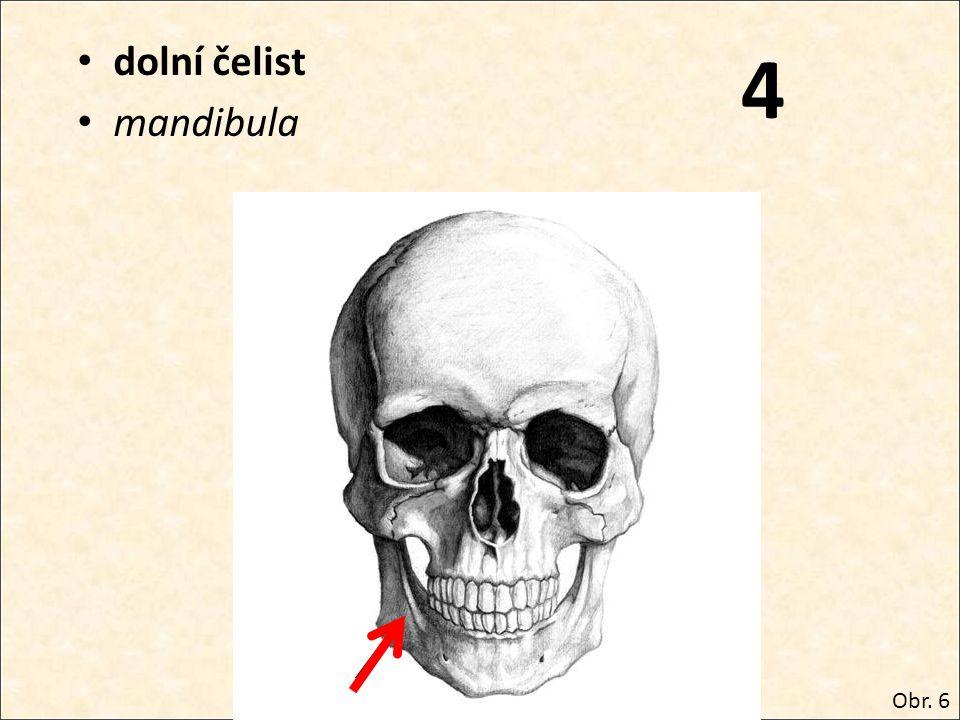 dolní čelist mandibula 4 Obr. 6