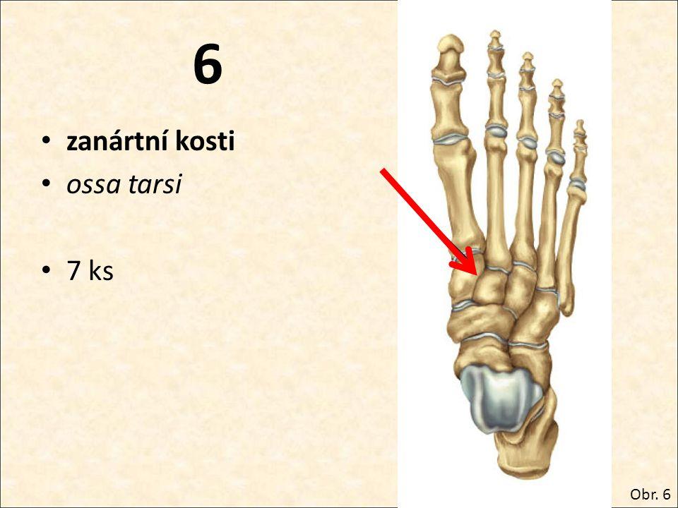 6 zanártní kosti ossa tarsi 7 ks Obr. 6