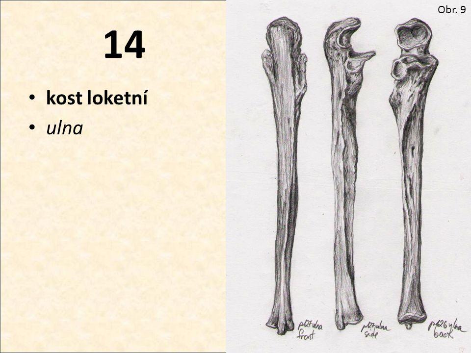 Obr. 9 14 kost loketní ulna