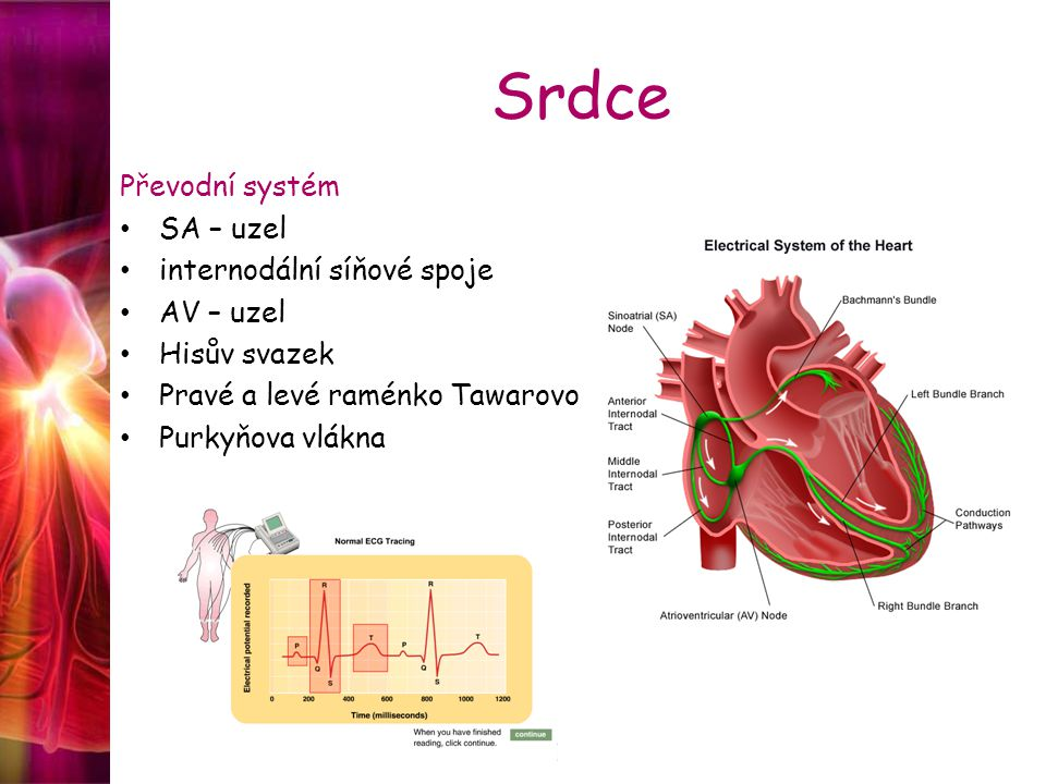 Srdce Převodní systém SA – uzel internodální síňové spoje AV – uzel