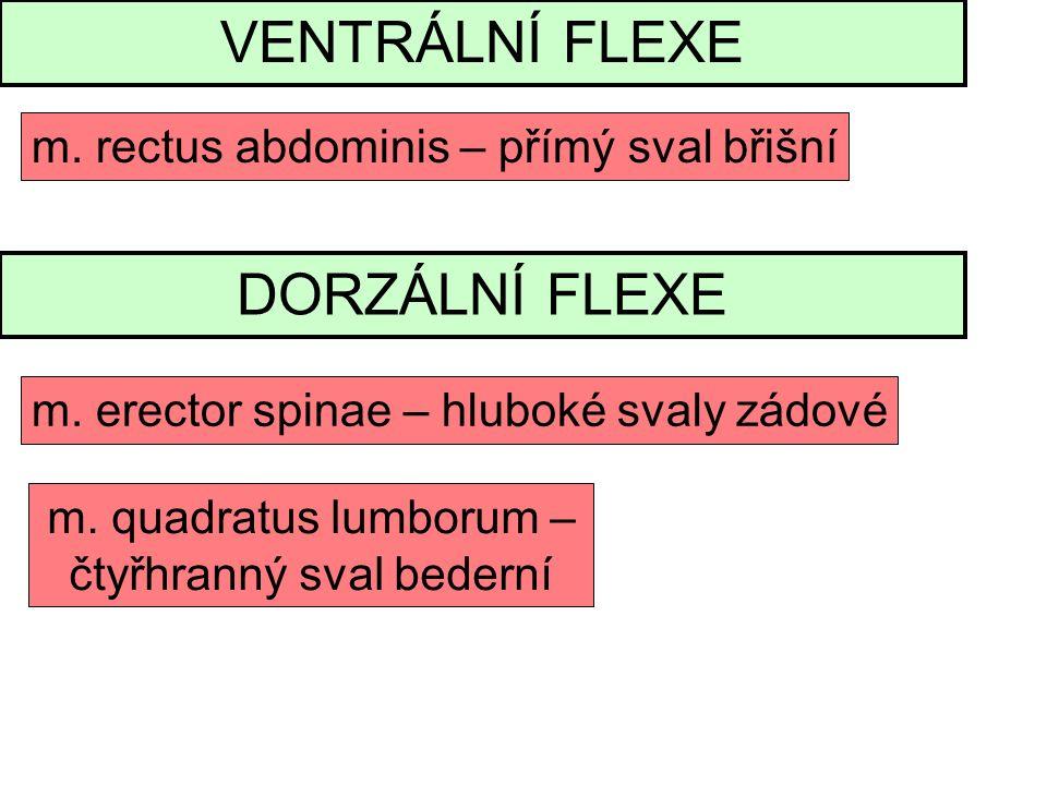 VENTRÁLNÍ FLEXE DORZÁLNÍ FLEXE m. rectus abdominis – přímý sval břišní