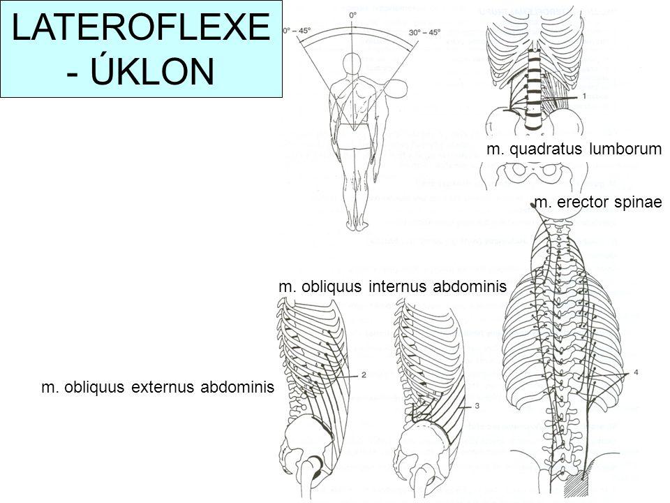 LATEROFLEXE - ÚKLON m. quadratus lumborum m. erector spinae