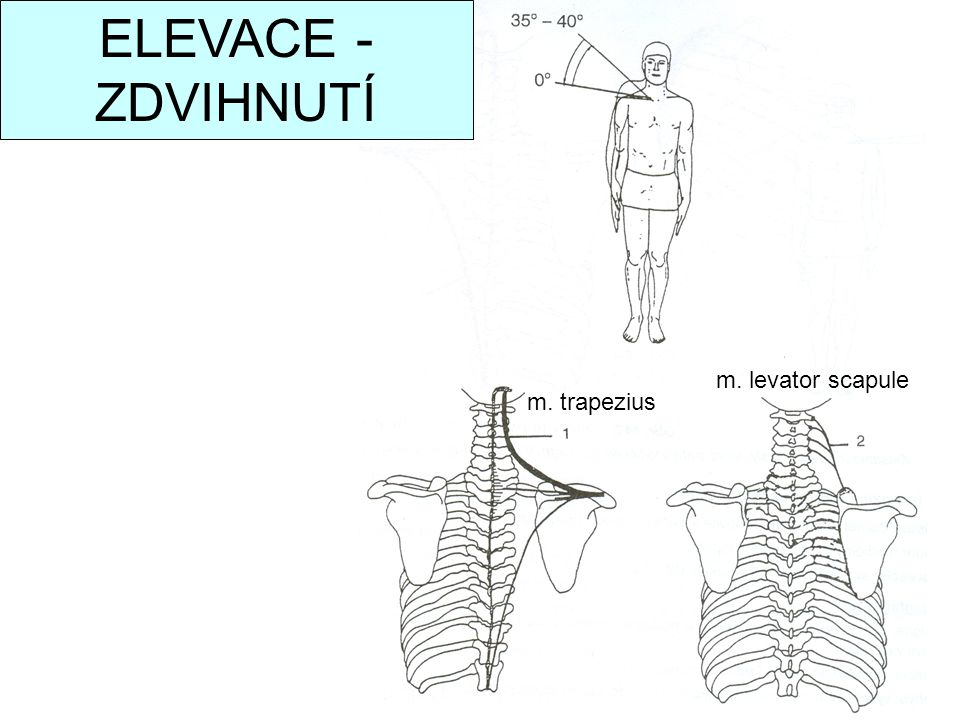 ELEVACE - ZDVIHNUTÍ m. levator scapule m. trapezius