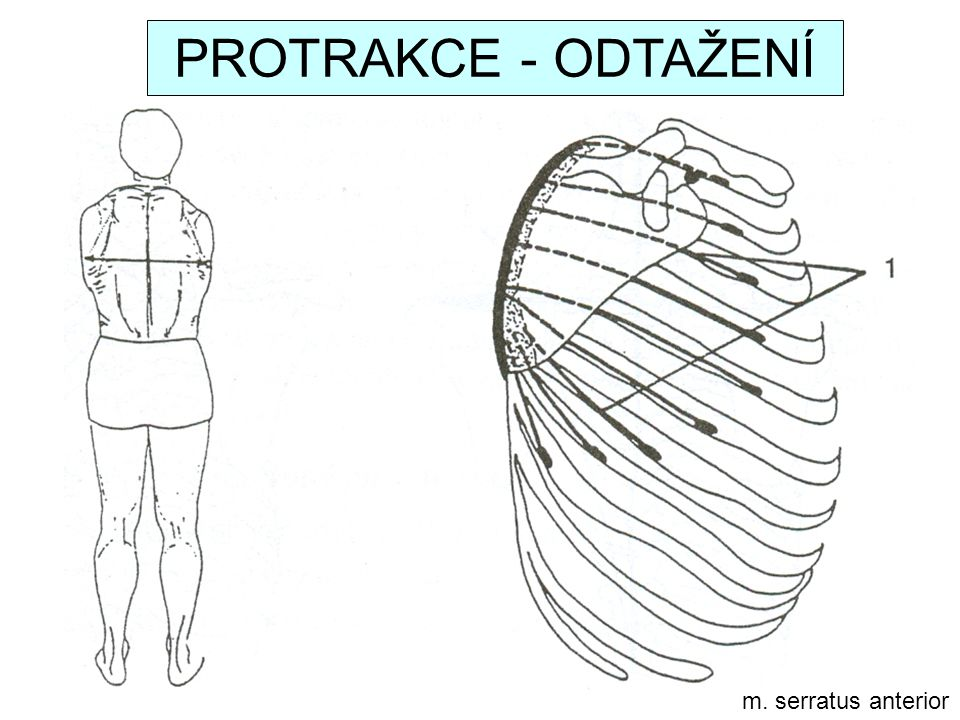 PROTRAKCE - ODTAŽENÍ m. serratus anterior