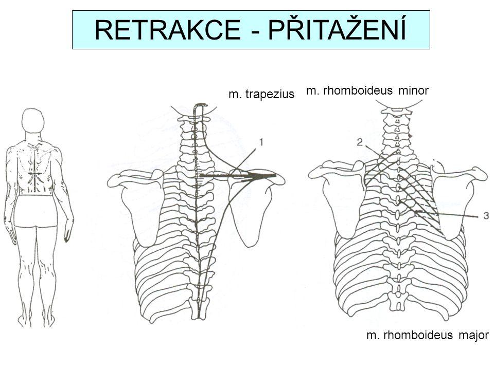 RETRAKCE - PŘITAŽENÍ m. rhomboideus minor m. trapezius