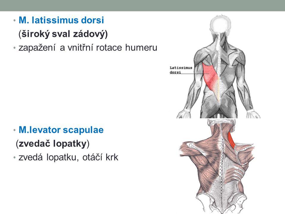 M. latissimus dorsi (široký sval zádový) zapažení a vnitřní rotace humeru. M.levator scapulae. (zvedač lopatky)