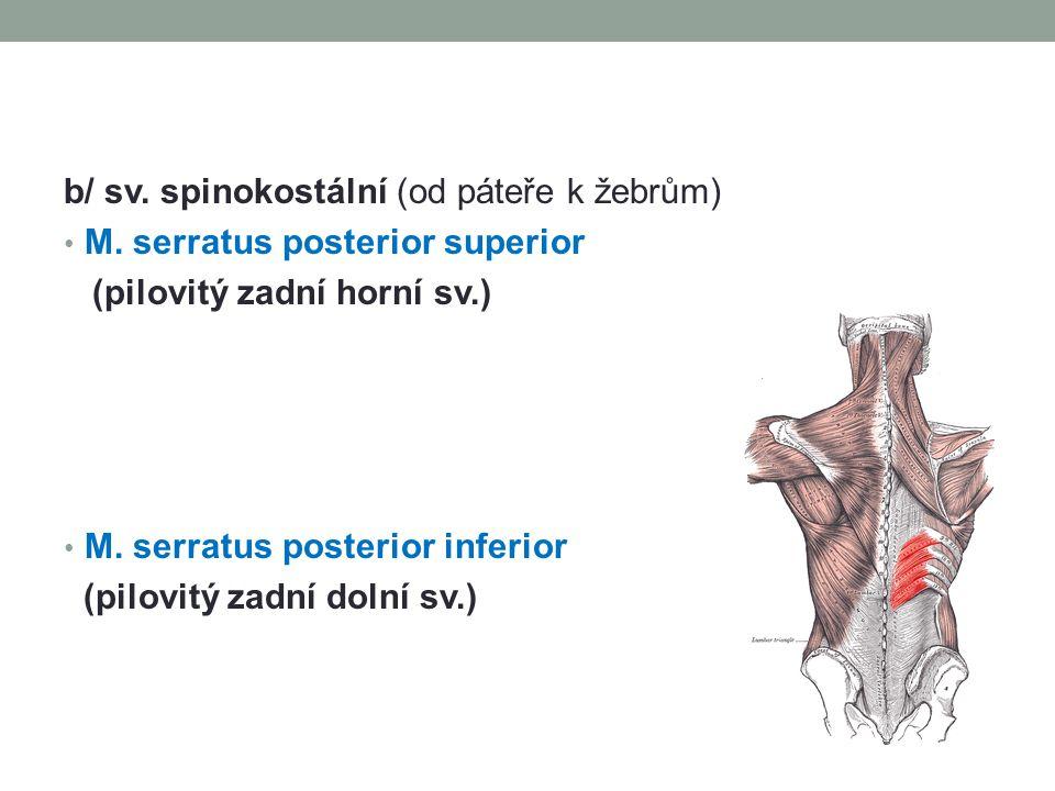 b/ sv. spinokostální (od páteře k žebrům)