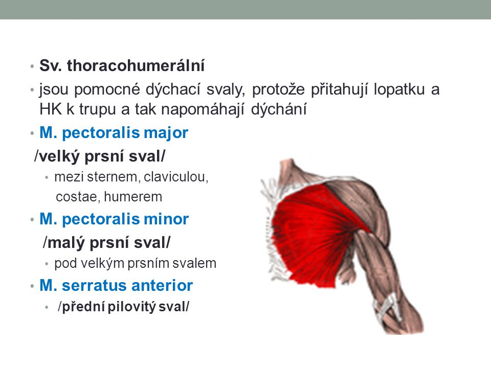 Sv. thoracohumerální jsou pomocné dýchací svaly, protože přitahují lopatku a HK k trupu a tak napomáhají dýchání.