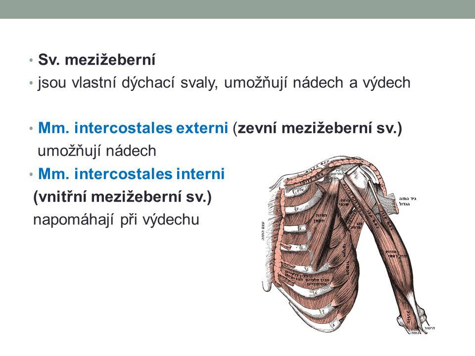 Sv. mezižeberní jsou vlastní dýchací svaly, umožňují nádech a výdech. Mm. intercostales externi (zevní mezižeberní sv.)