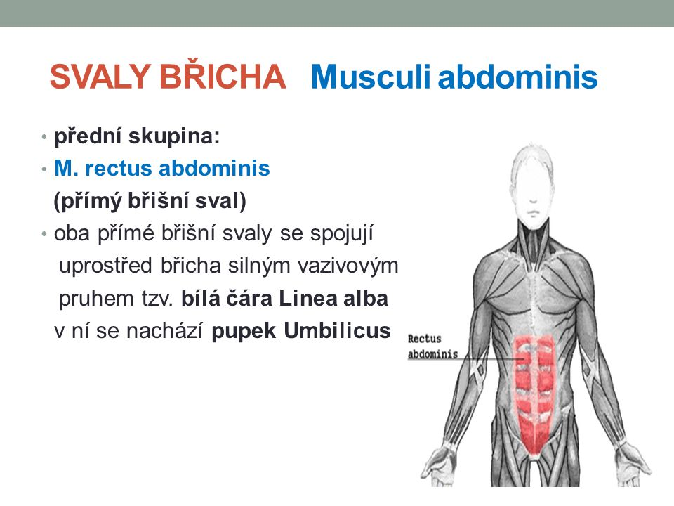 SVALY BŘICHA Musculi abdominis