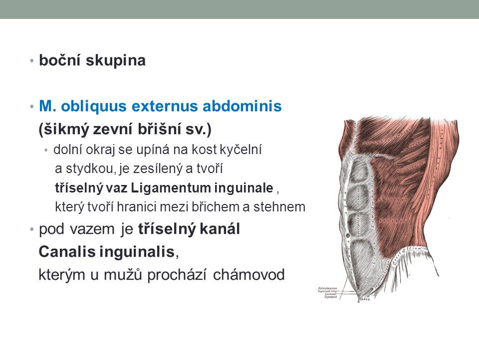 M. obliquus externus abdominis (šikmý zevní břišní sv.)