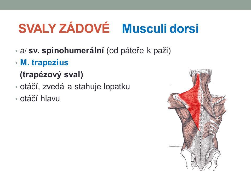 SVALY ZÁDOVÉ Musculi dorsi