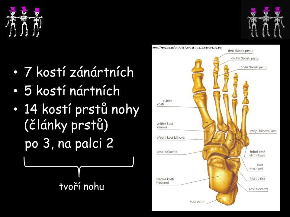 14 kostí prstů nohy (články prstů) po 3, na palci 2