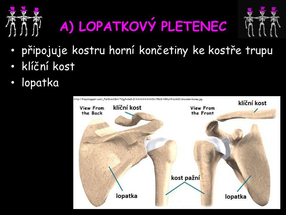 A) LOPATKOVÝ PLETENEC připojuje kostru horní končetiny ke kostře trupu