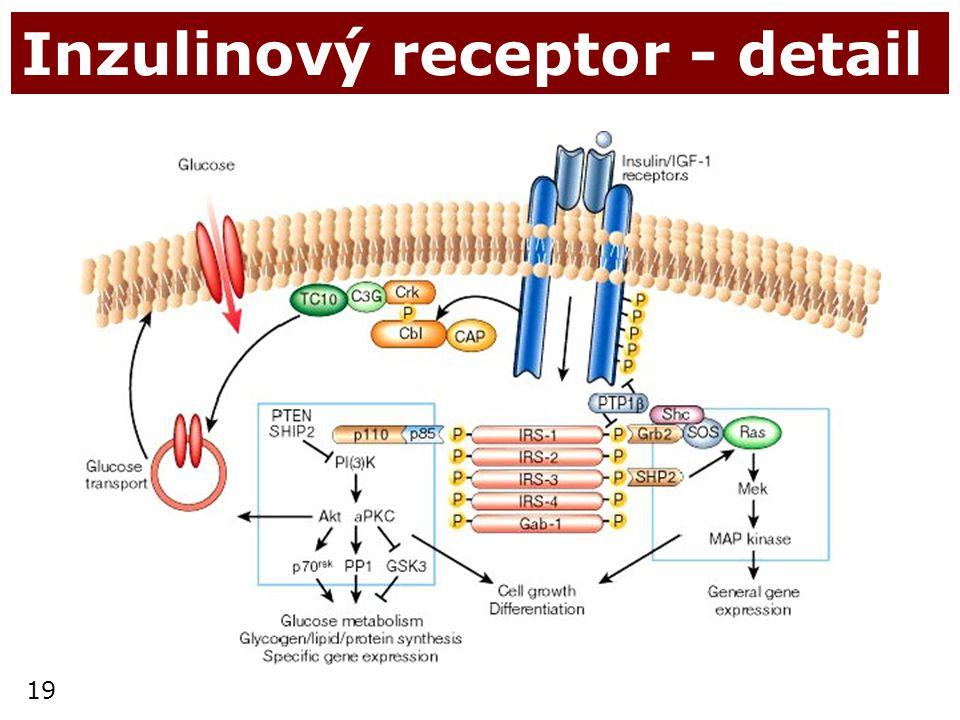 Inzulinový receptor - detail