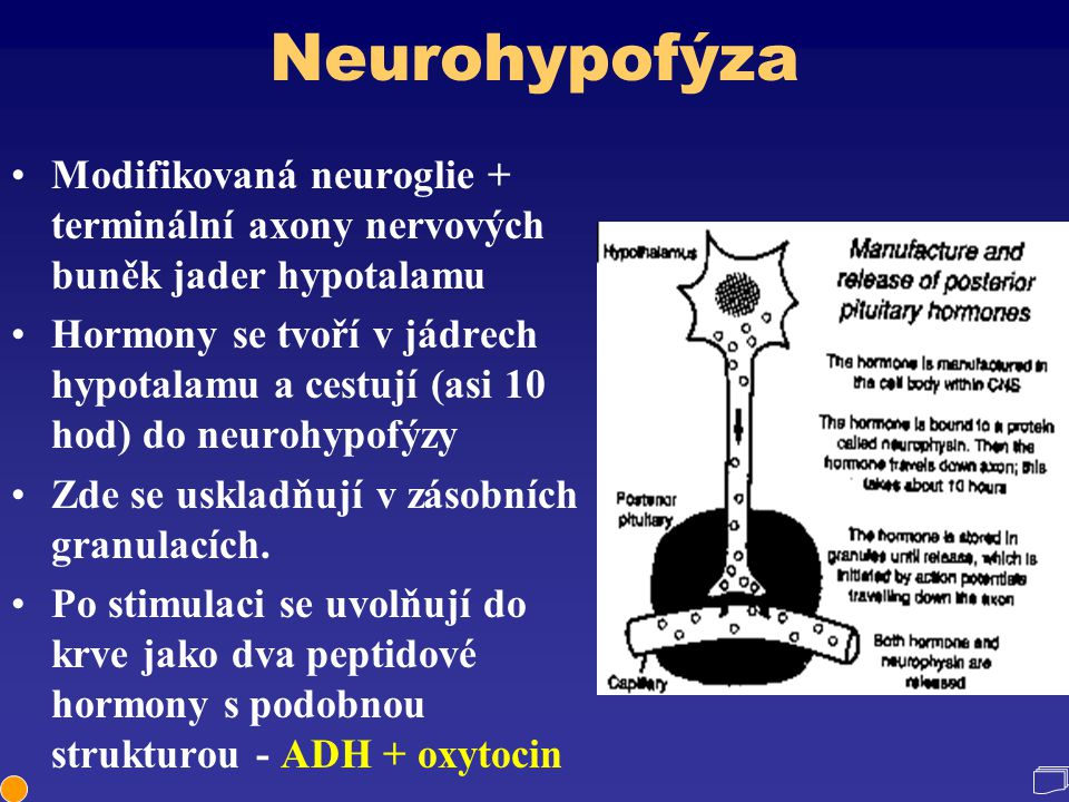 Neurohypofýza Modifikovaná neuroglie + terminální axony nervových buněk jader hypotalamu.