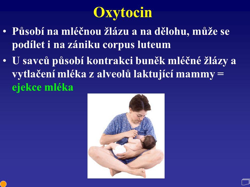 Oxytocin Působí na mléčnou žlázu a na dělohu, může se podílet i na zániku corpus luteum.