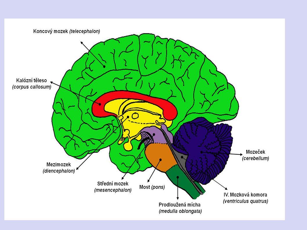 STAVBA MOZKU - mozek má 6 částí 1. prodloužená mícha 2. Varolův most
