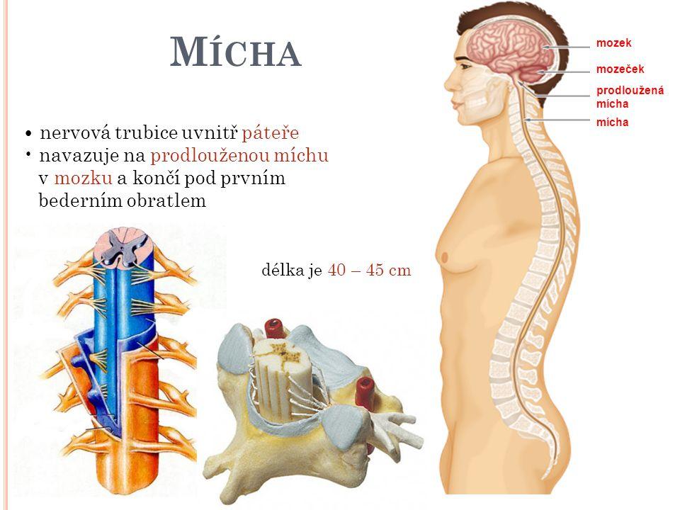 Mícha • nervová trubice uvnitř páteře • navazuje na prodlouženou míchu