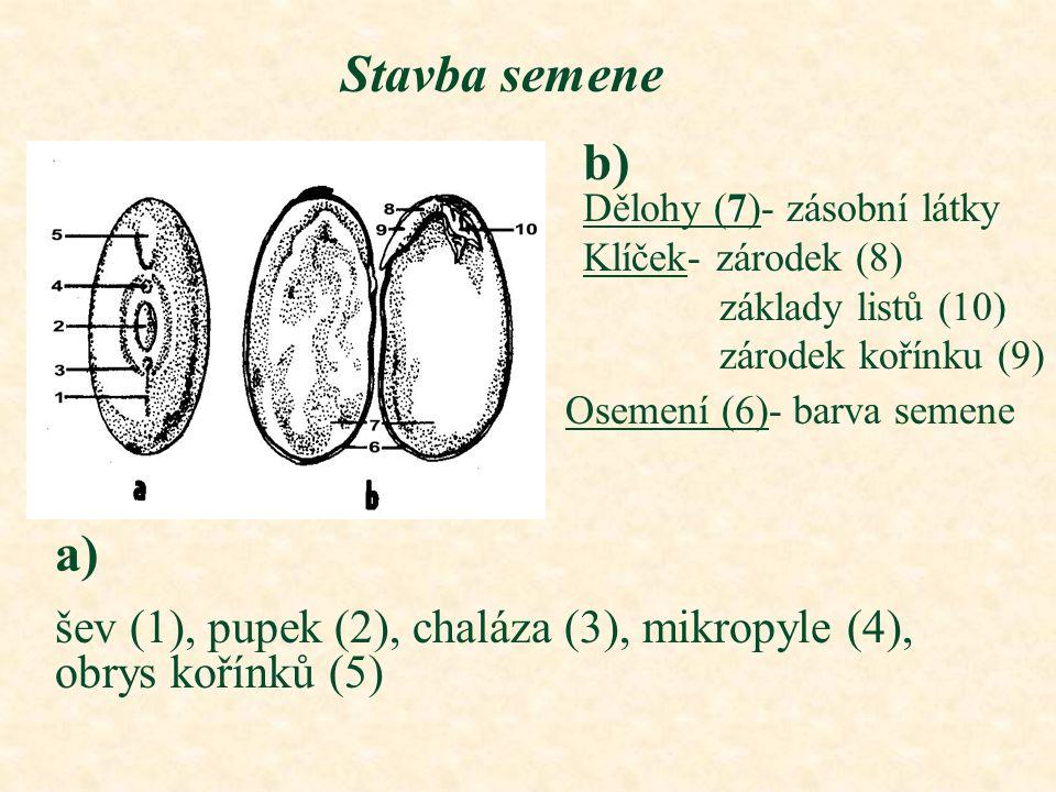 Stavba semene b) Dělohy (7)- zásobní látky. Klíček- zárodek (8) základy listů (10) zárodek kořínku (9)