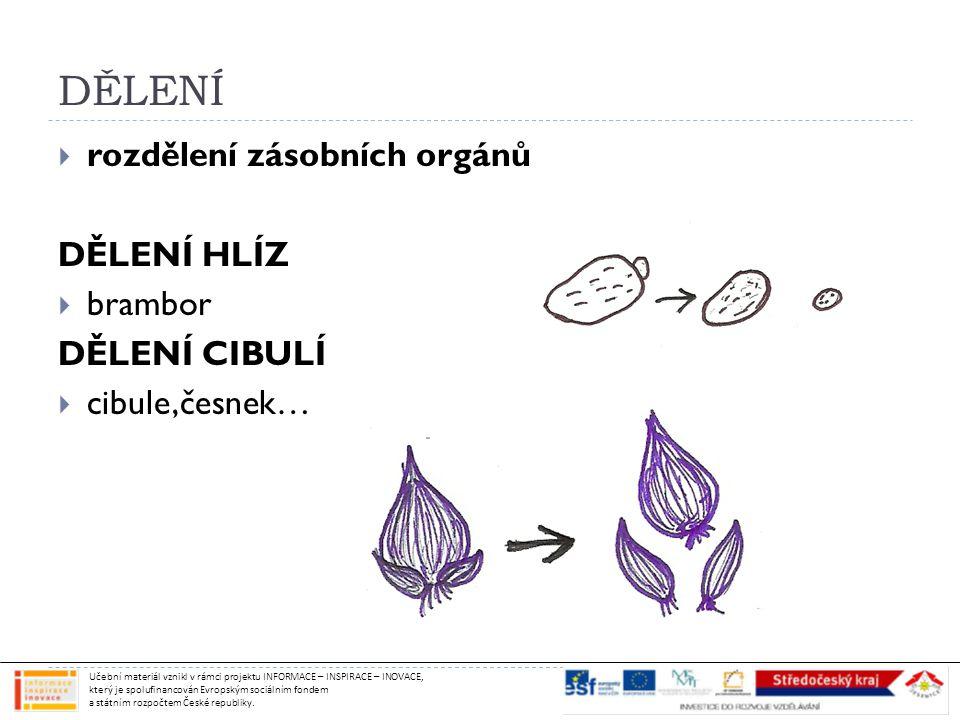 DĚLENÍ rozdělení zásobních orgánů DĚLENÍ HLÍZ brambor DĚLENÍ CIBULÍ