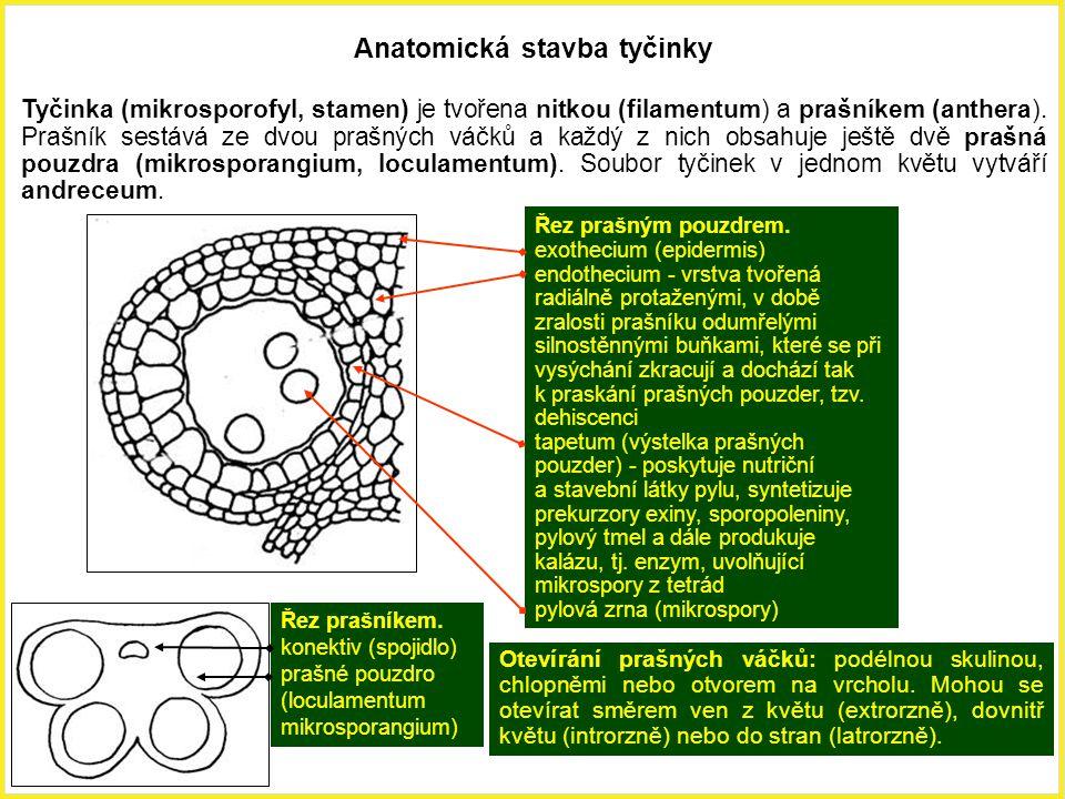 Anatomická stavba tyčinky