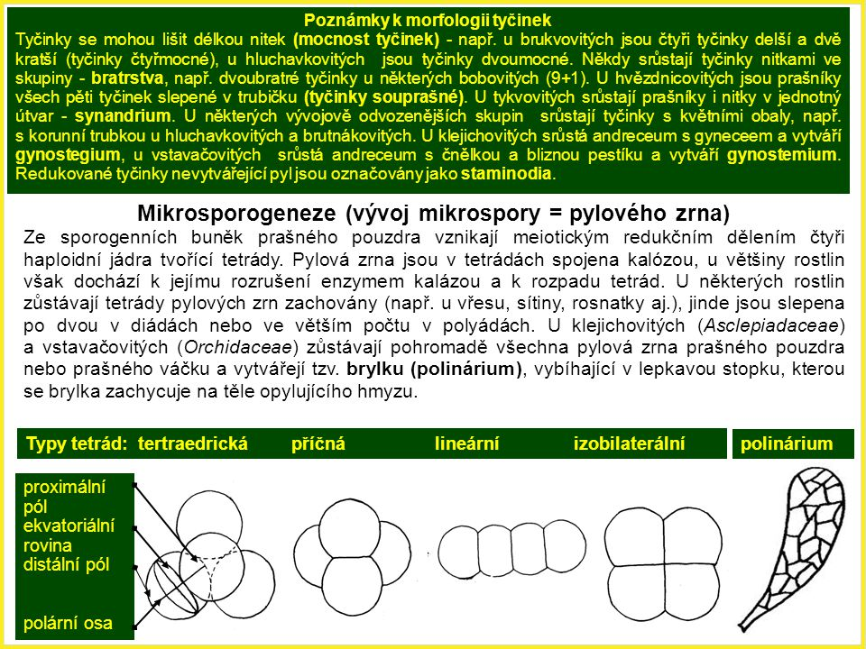 Poznámky k morfologii tyčinek
