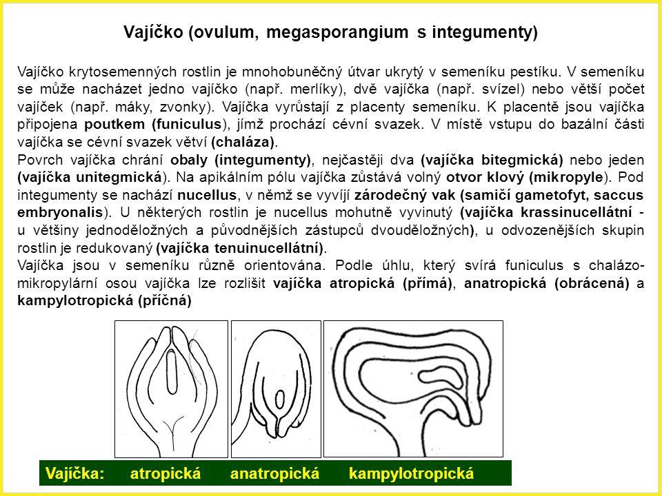 Vajíčko (ovulum, megasporangium s integumenty)