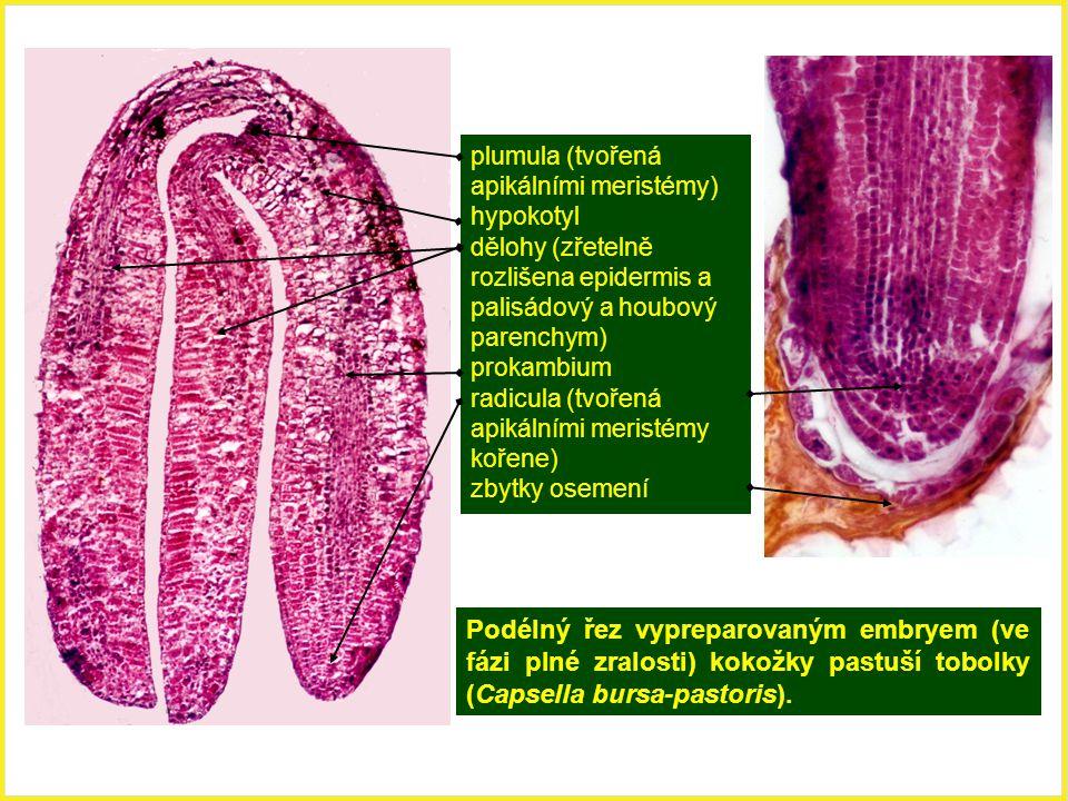 plumula (tvořená apikálními meristémy)