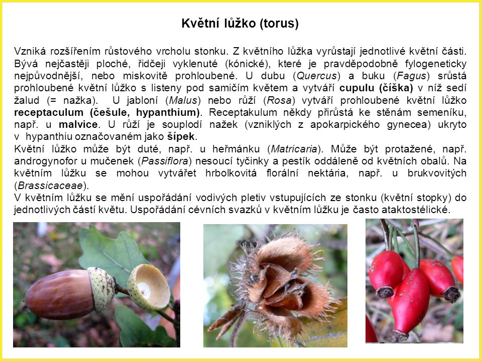 Květní lůžko (torus)