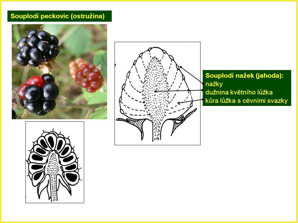 Souplodí peckovic (ostružina)