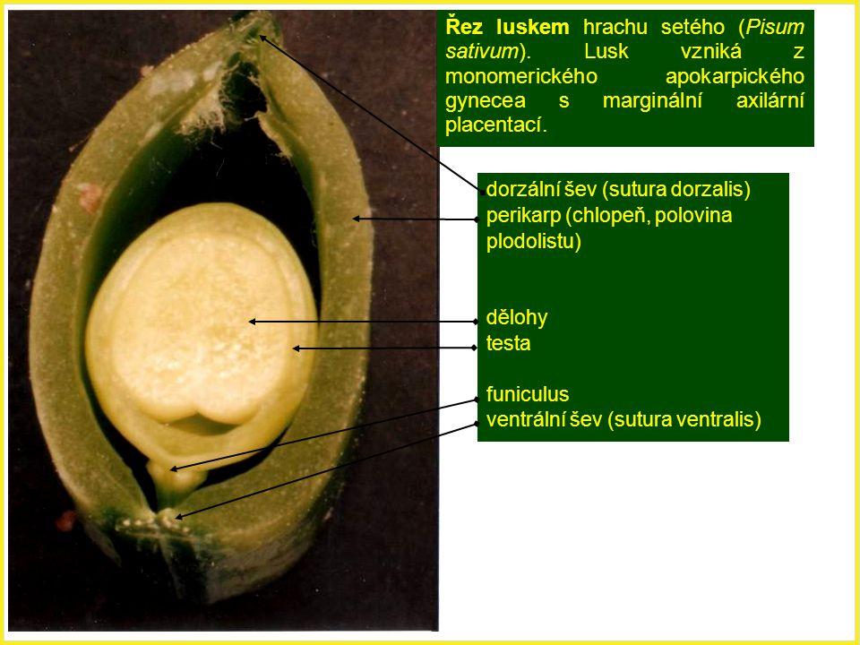 Řez luskem hrachu setého (Pisum sativum)