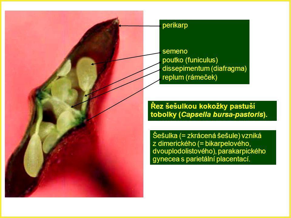 Řez šešulkou kokožky pastuší tobolky (Capsella bursa-pastoris).