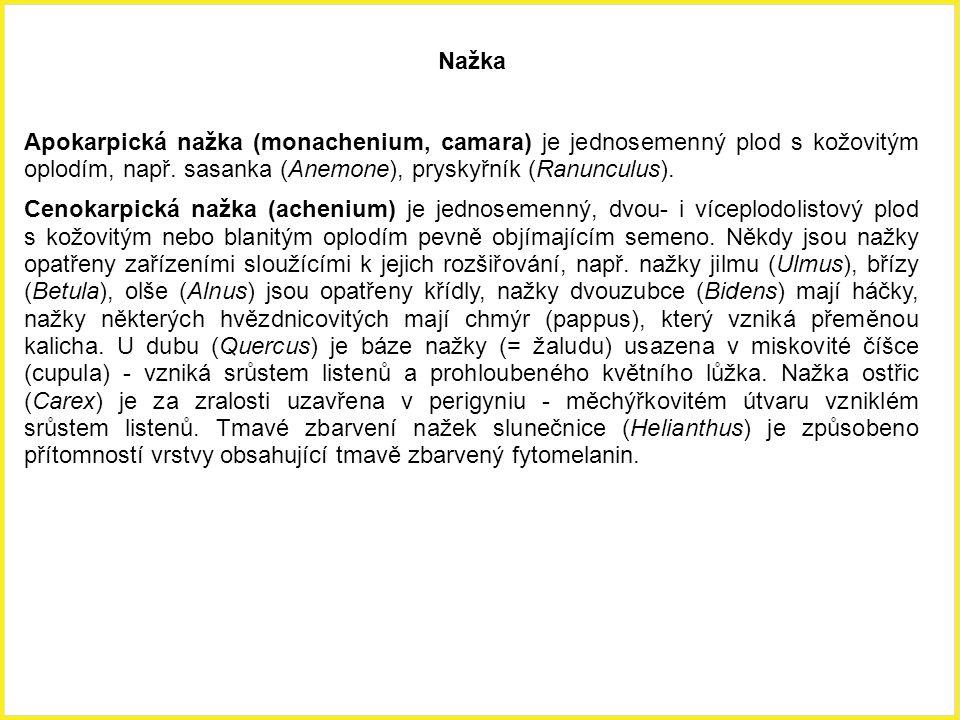 Nažka Apokarpická nažka (monachenium, camara) je jednosemenný plod s kožovitým oplodím, např. sasanka (Anemone), pryskyřník (Ranunculus).