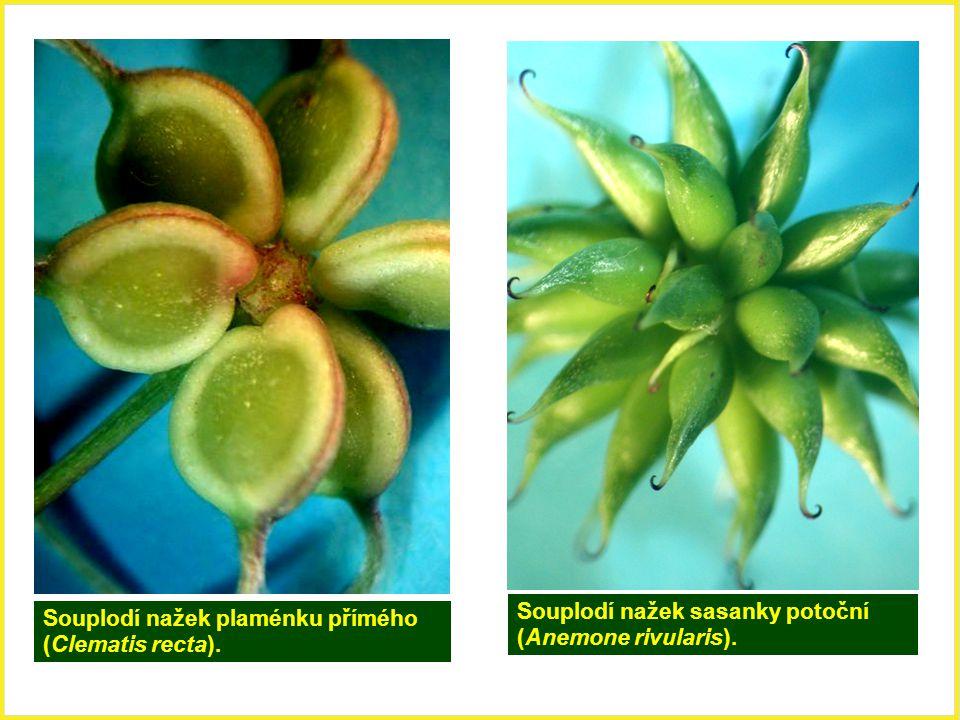 Souplodí nažek sasanky potoční (Anemone rivularis).