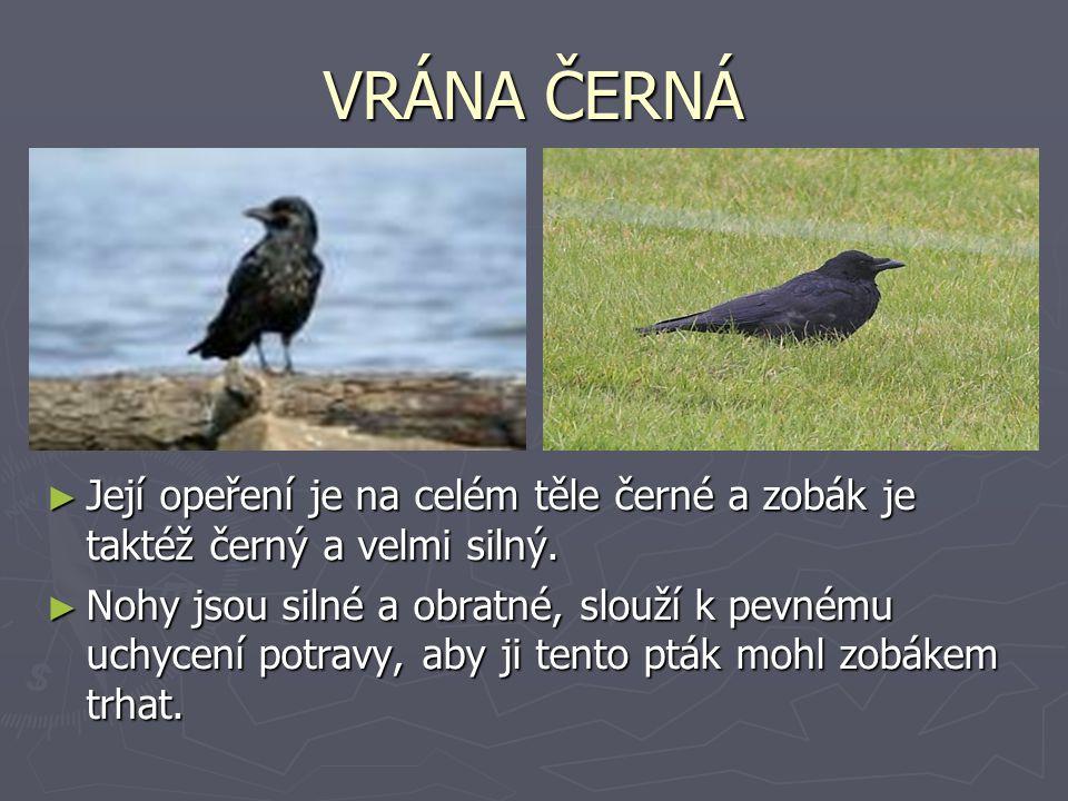VRÁNA ČERNÁ Její opeření je na celém těle černé a zobák je taktéž černý a velmi silný.