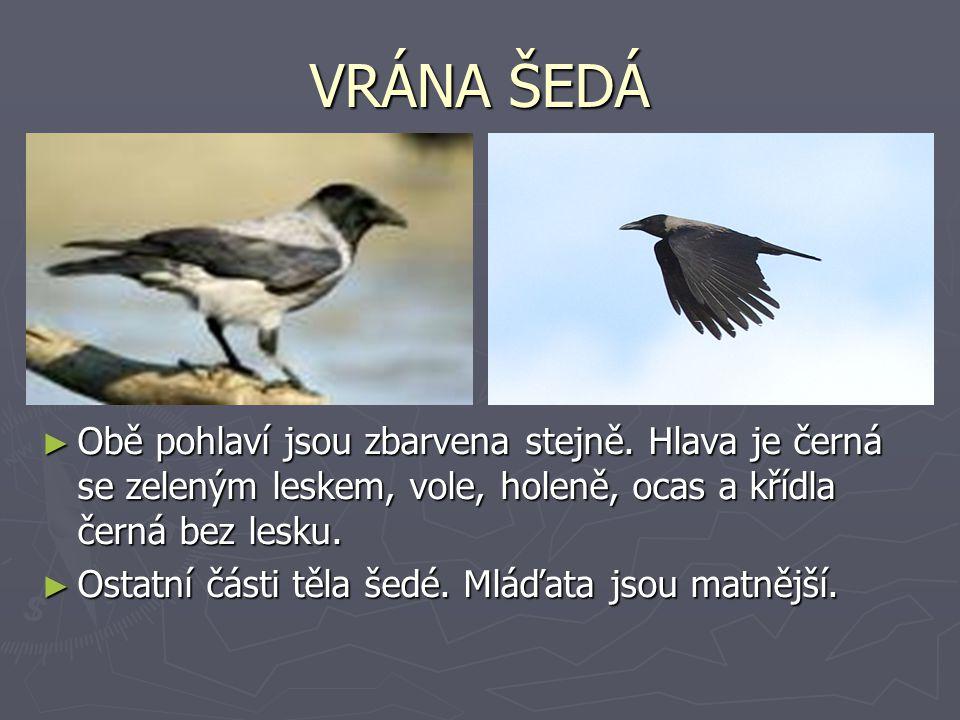 VRÁNA ŠEDÁ Obě pohlaví jsou zbarvena stejně. Hlava je černá se zeleným leskem, vole, holeně, ocas a křídla černá bez lesku.