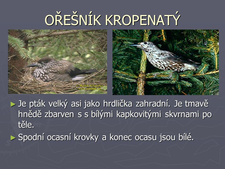 OŘEŠNÍK KROPENATÝ Je pták velký asi jako hrdlička zahradní. Je tmavě hnědě zbarven s s bílými kapkovitými skvrnami po těle.