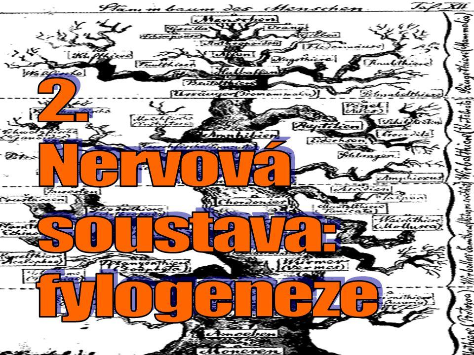 2. Nervová soustava: fylogeneze