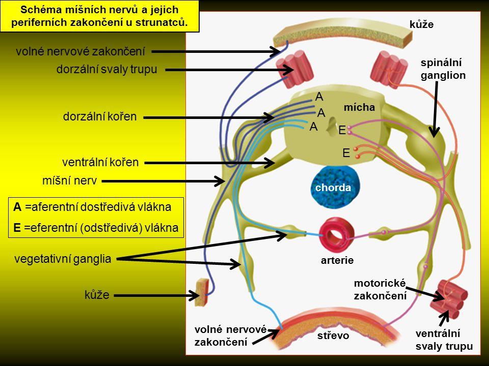 Schéma míšních nervů a jejich periferních zakončení u strunatců.