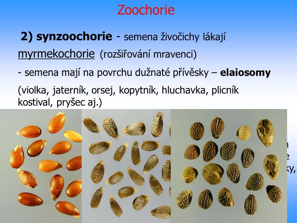 Zoochorie 2) synzoochorie - semena živočichy lákají