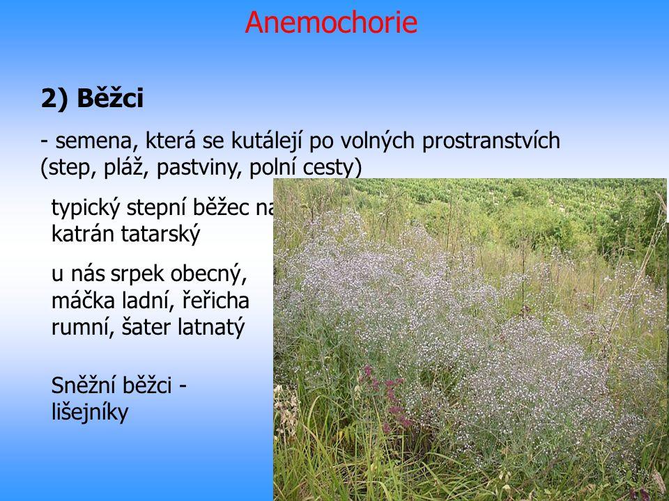 Anemochorie 2) Běžci. semena, která se kutálejí po volných prostranstvích (step, pláž, pastviny, polní cesty)