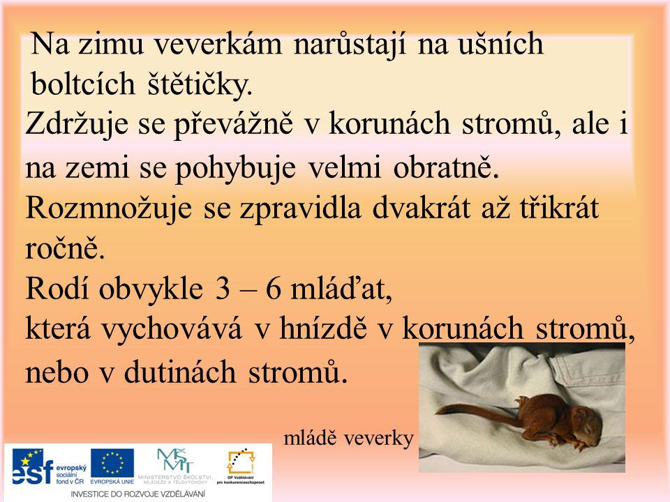 Na zimu veverkám narůstají na ušních boltcích štětičky.