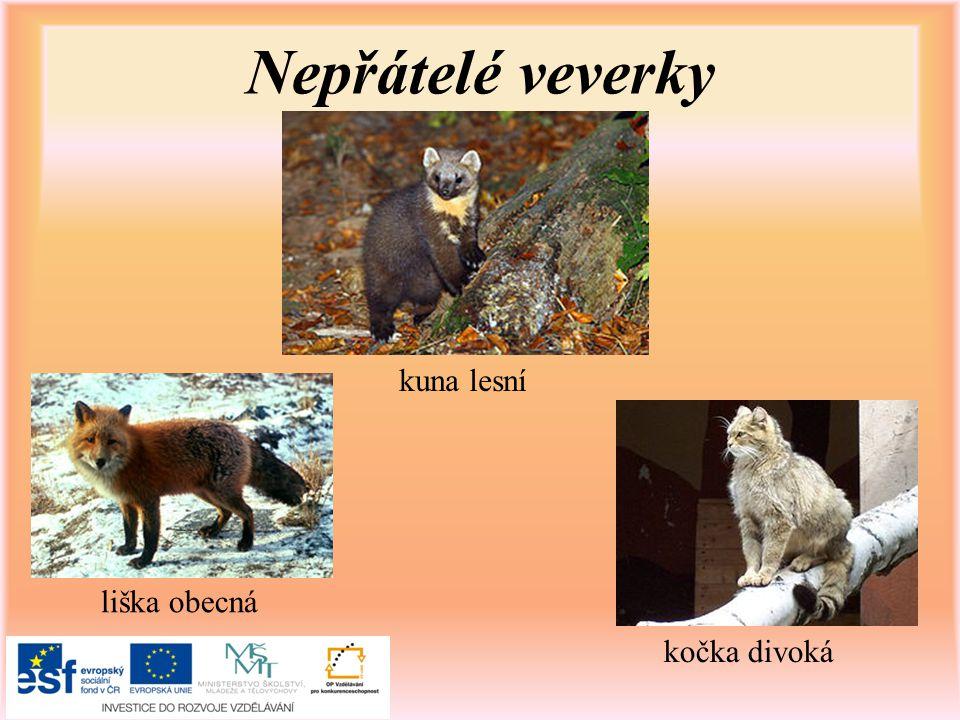 Nepřátelé veverky kuna lesní liška obecná kočka divoká