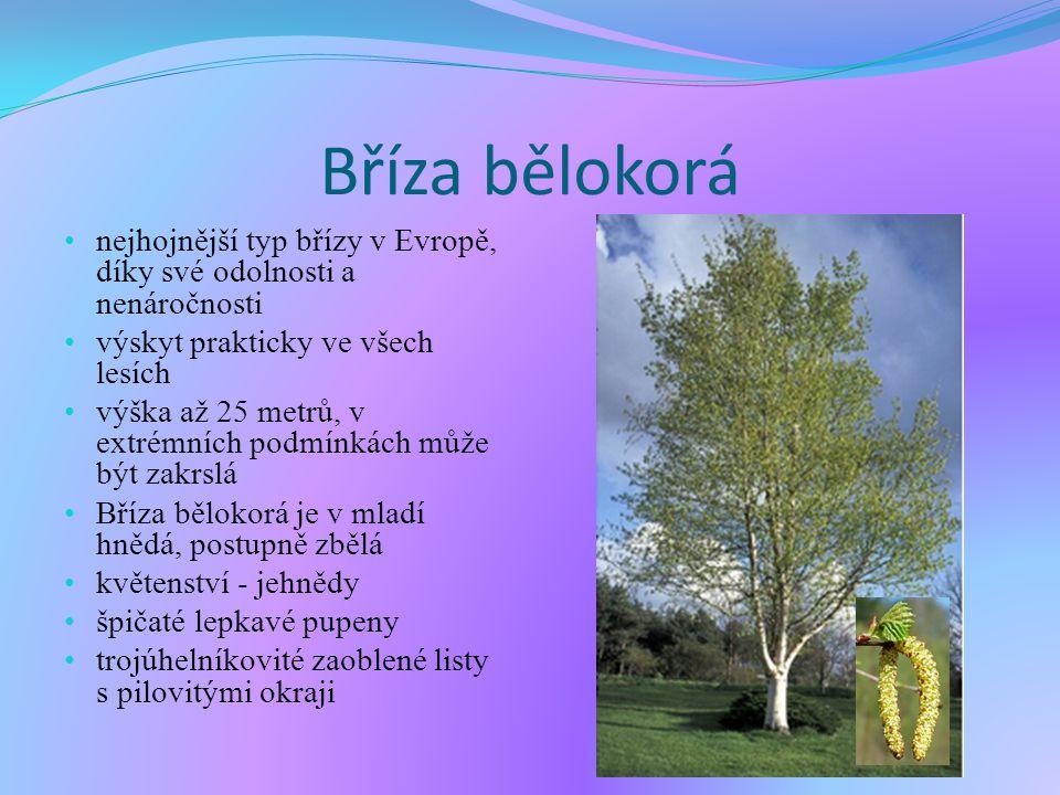 Bříza bělokorá nejhojnější typ břízy v Evropě, díky své odolnosti a nenáročnosti. výskyt prakticky ve všech lesích.
