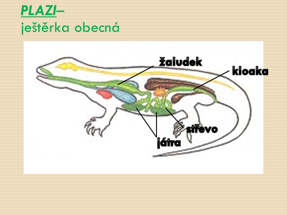 PLAZI– ještěrka obecná žaludek kloaka játra střevo