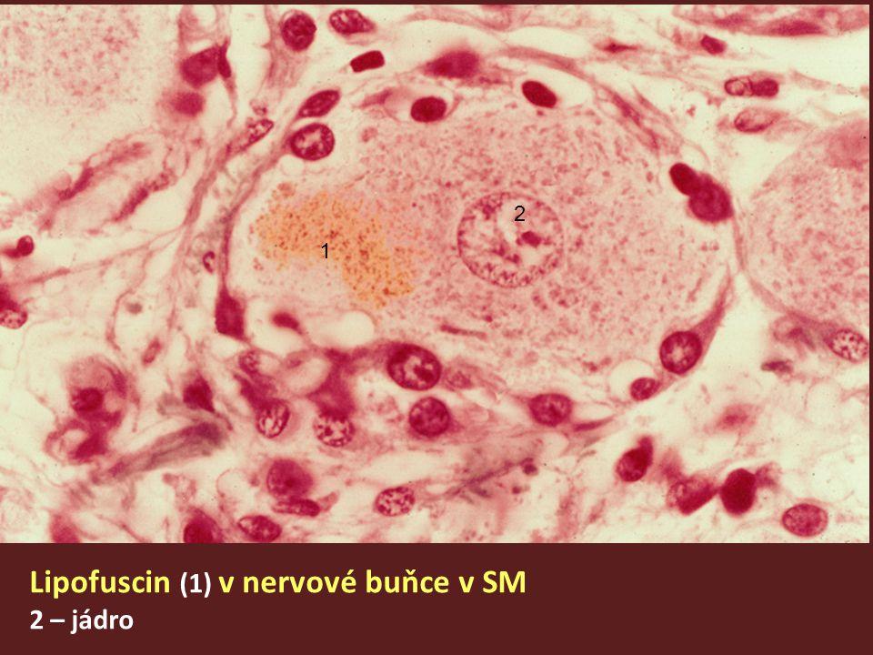 Lipofuscin (1) v nervové buňce v SM