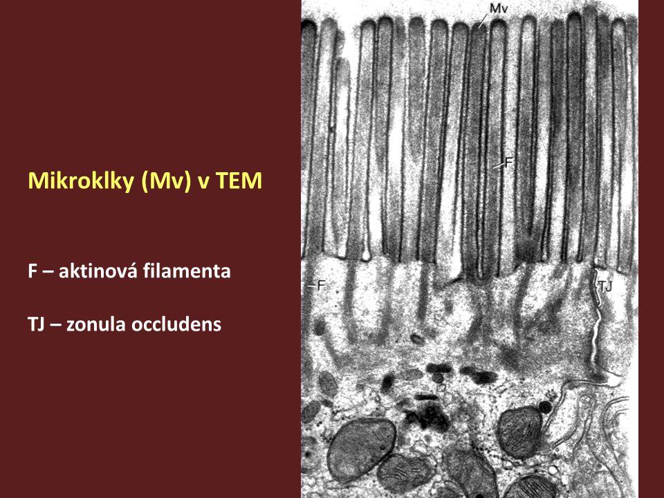 Mikroklky (Mv) v TEM F – aktinová filamenta TJ – zonula occludens