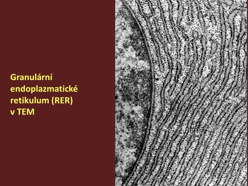 Granulární endoplazmatické retikulum (RER)