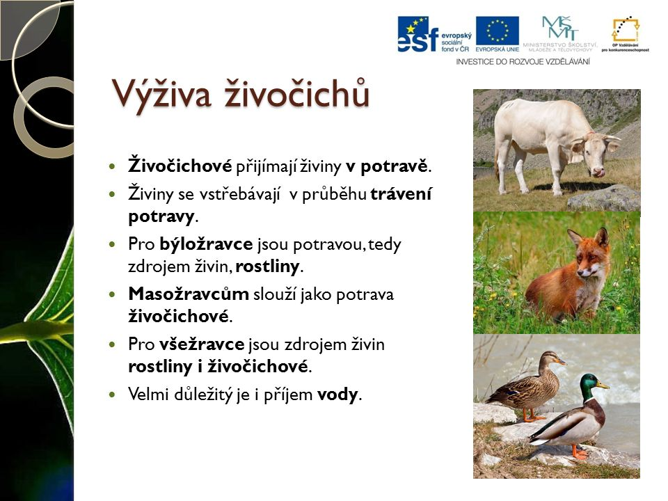 Výživa živočichů Živočichové přijímají živiny v potravě.
